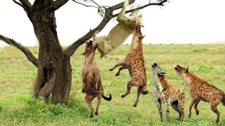 怀孕母狮被10多条鬣狗围堵上树,奄奄一息时雄狮杀到,雄狮:老婆我带你回家