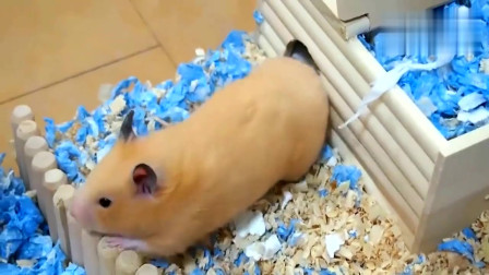 仓鼠第一次吃开心果,嘴巴停不下来,仓鼠太美味了