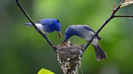 为什么鸟巢都是露天的?下雨天时怎么办呢?看完就懂了
