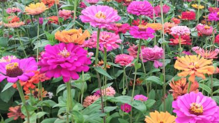 四朵金花花