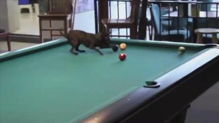狗狗也会打台球?趴在桌子上推来推去,这样是不是犯规了