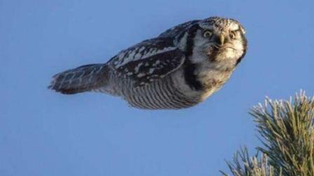 猫头鹰听到主人呼唤,接下来画面请忍住别笑,迈着小碎步跑过来了