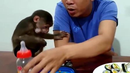 第一次吃寿司的小猴子,边吃边扔这玩意真稀奇