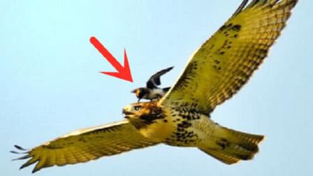 老鹰竟然也有天敌?遇到后根本无处可逃,网友:真是鸟不可貌相