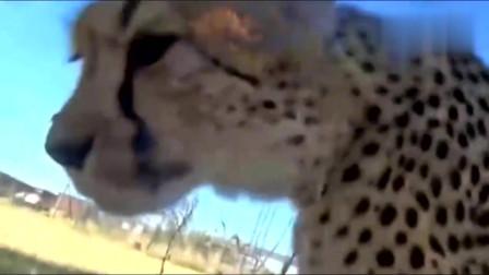 豹子看到到大叔躺在草地上,轻手轻脚的走过去帮大叔洗脸
