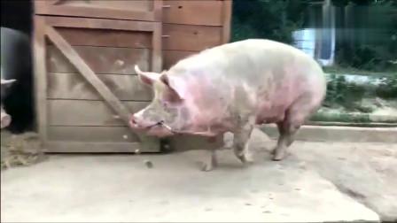 大肥猪嘴里叼着一根草,大摇大摆的回窝里,真是得瑟
