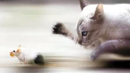 为啥猫抓老鼠,老鼠不会发起进攻?猫:你对速度一无所知