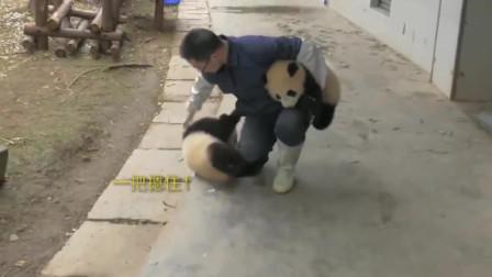 奶妈:下班了,提两只团子回家!熊猫宝宝:生活还是对我下手了