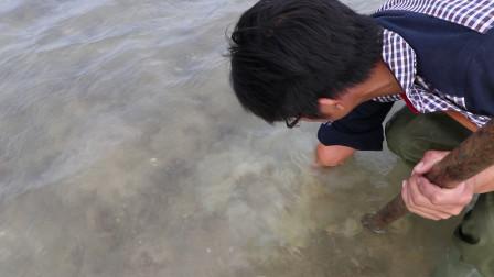 陈仔去赶海挖了几十个象拔蚌,这个你们知道是怎么挖的吗?