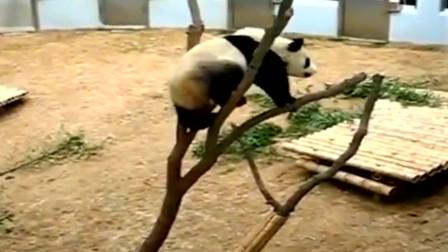 大熊猫挠痒痒的方式真特别,跑到小树上去蹭,的真担心它会摔下来
