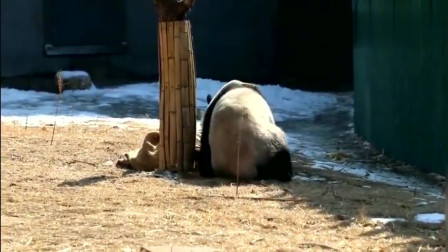 大熊猫拎着个麻袋玩的可开心了,爬树摔跤都拎着它,是真心喜欢了