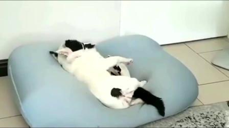 斗牛犬跟猫咪挣窝睡觉,挣不过干脆抱着猫咪一起睡了