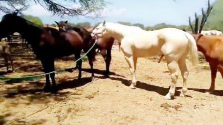 主人带马找伴侣,这马很聪明,还很挑