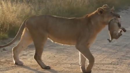 母狮带小狮子过马路,司机好心让路,下一秒却发生了意外