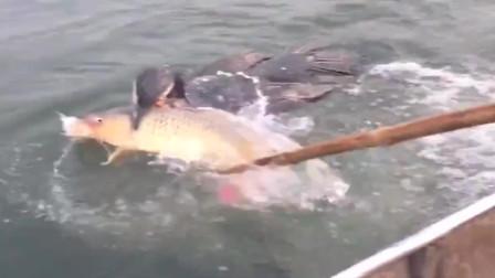 农村人养出来的鱼鹰就是不一样,这么大的野生鲤鱼都能抓上岸,厉害!