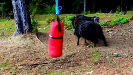 公羊在树林里顶沙包,公羊不要打扰我我今天一定要把这沙包顶破