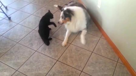 狗狗躺在地上好好的,黑猫偏要去招惹人家,很欠揍有没有