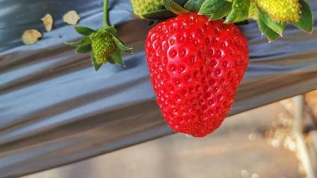 草莓您种植到这个样子就行了