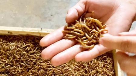 实拍农村养殖的虫子,营养价值极高,棉儿姐连吃两大口真过瘾!