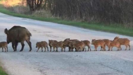 一群野猪将马路封锁,不料一辆汽车突然驶来,下一秒憋住别笑