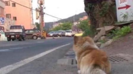 被别的狗狗咬了一口,狗子就天天蹲在路口等着报仇,镜头记录全程