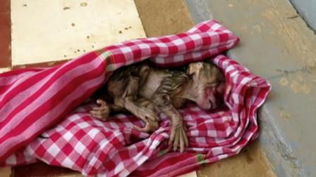 刚出生的小猴子毛还没干,却被残忍遗弃,害怕地趴在石板上哭泣!