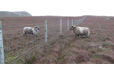 两头公羊隔着铁网互相碰撞,真是脾气暴躁呀,镜头记录搞笑一幕!