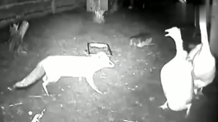 狐狸想偷袭大鹅,可是实力不允许呀