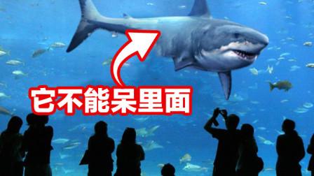 为何水族馆中没有大白鲨?