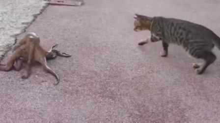 猫咪看见章鱼过马路,竟忍不住上前尝了一口,下秒活生生被扯成橡皮糖