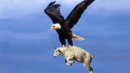 这么大的羊,老鹰都想吃,这胃口也太大了吧!