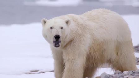 """北极熊将探险队当成食物,准备进行攻击,为了自保扔出""""炸弹"""""""
