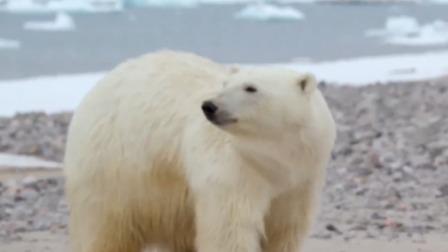 北极熊饿到失去理智,为了食物攻击人类,探险队赶都赶不走