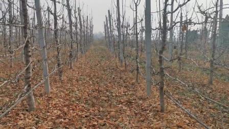 樱桃种植技术,高标椎篱壁形的,树形种植要求