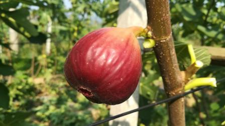 什么样的无花果品种产量最高、个头最大又最甜?了解清楚,再种植