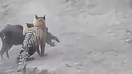 野猪与老虎谁厉害,这段视频给出了答案