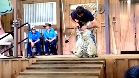 剪个羊毛整这么大的阵容,羊我不要仪式感,太丢脸啦
