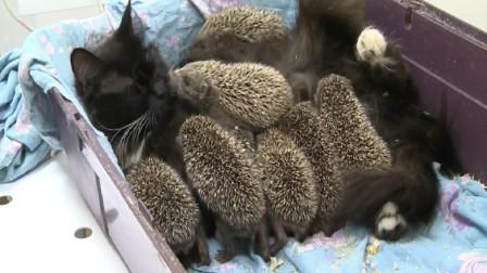 刺猬误把猫当成妈妈,拼命往怀里钻,隔着屏幕都觉得疼