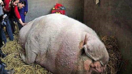 如果一头猪一辈子不杀,一直养能长到多大?没看到你都不信
