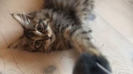 出门遛猫,想不到主子被只流浪喵迷住,小哥只好带回家一起宠着