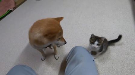 怕生的猫猫,在主人的帮助下和柴犬见面,两个宝贝都是天使啊