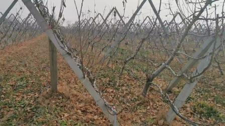 樱桃种植技术,高标椎双v字形的树形,带大家欣赏一下