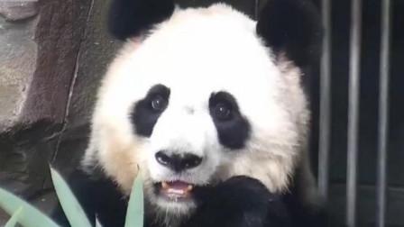 大熊猫正在吃竹子,发现自己被偷拍后,下一秒请憋住别笑
