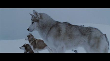 旧影《零下八度》八只雪橇犬在南极艰难的生存