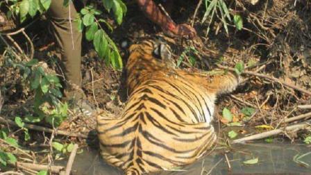 小伙发现老虎躺在河边喝水,过了许多都没起来,靠近一看惊呆了!