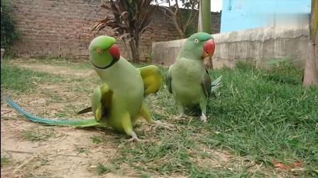 鹦鹉遇到心仪对象,为获芳心大秀舞姿,很卖力