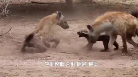 狮子一口要掉鬣狗后腿,一路狂追却不吃掉,镜头记录全过程