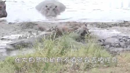狮子和斑马一起在小河边喝水,这个画面温暖可爱,下一秒画风忽然就变了