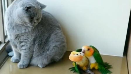 嚣张鹦鹉当众亲热,还和猫杠上了,网友:来自单身猫的愤怒!