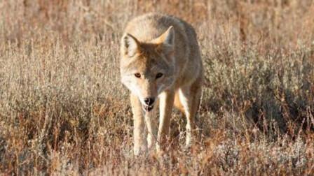 斑鹿难以逃脱豺狼的围攻,老虎也前来分一杯羹